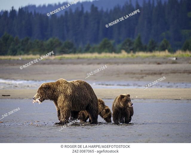 Coastal brown bear, also known as Grizzly Bear (Ursus Arctos) female and cubs feeding on a silver salmon or coho salmon (Oncorhynchus kisutch)