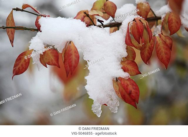 Snow on the branch of a tree during the first big snowstorm of the season in Toronto, Ontario, Canada. - TORONTO, ONTARIO, CANADA, 17/11/2014