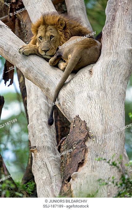 African Lion. (Panthera leo). Male lying on a tree. Lake Nakuru National Park, Kenya