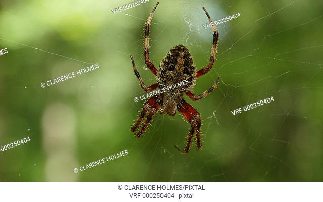 An Orbweaver (Neoscona crucifera) spider waits for prey at the center of its web