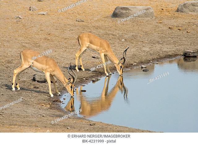 Black-faced Impalas (Aepyceros petersi), at a waterhole, Etosha National Park, Namibia