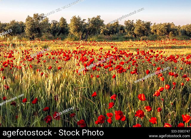 Poppies, wheat and olive trees in spring time. Madrid. Spain. Europe