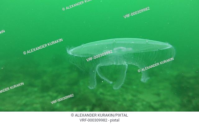 Common jellyfish (Aurelia aurita) against a background of greenish water