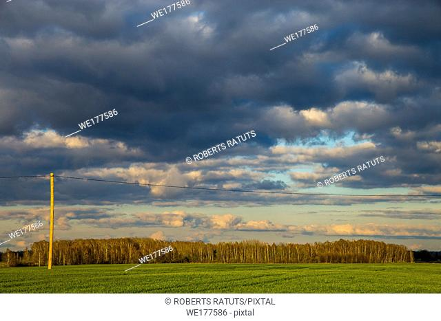 Green field with cereal and trees on the back, against a cloudy blue sky. Spring landscape with cornfield, wood and cloudy blue sky