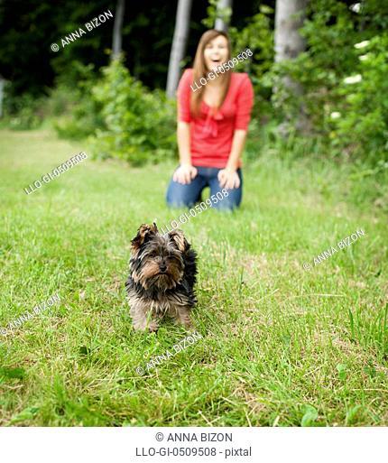 Yorkshire terrier puppy on meadow Debica, Poland