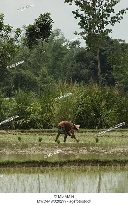 A farmer planting paddy seedlings in the field, at a village, in Sylhet, Bangladesh June 29, 2009