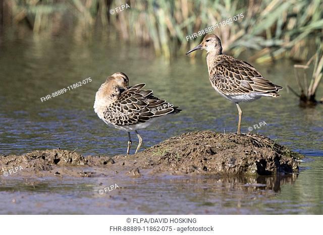 Juvenile Ruffs preening, Deepdale Marsh Norfolk late summer