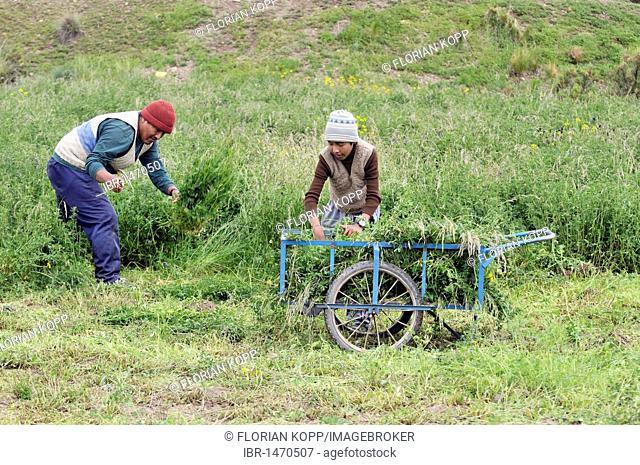 Harvest of alfalfa (Medicago sativa), forage crop, father and son, Altiplano Bolivian highland, Oruro Department, Bolivia, South America