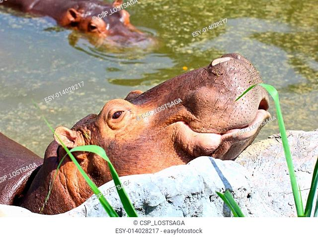 two Hippopotamus in the water