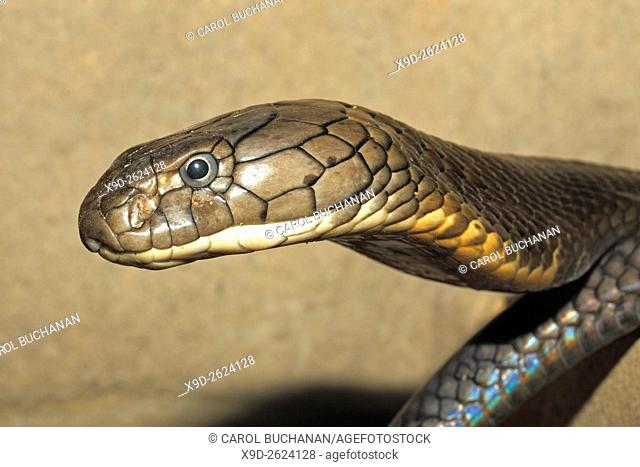 King Cobra, Ophiophagus hannah, Bali, Indonesia. This snake is the largest of the venomous land snakes