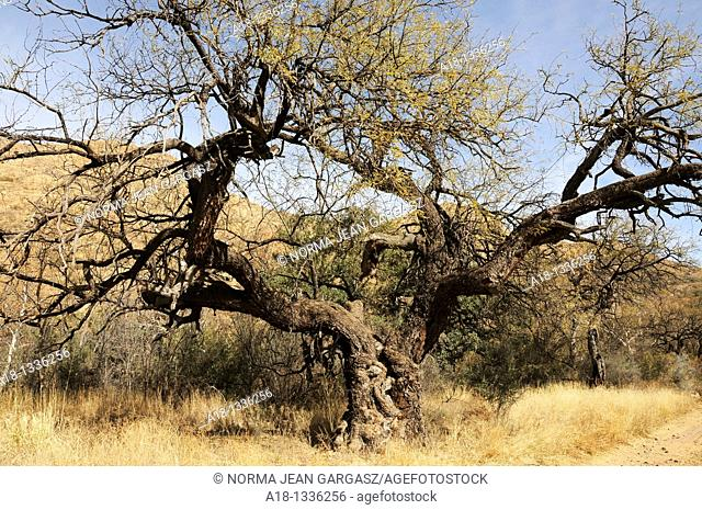 An old mesquite tree in Brown Canyon in the Buenos Airies Wildlife Refuge about 20 miles north of Sasabe, Arizona, USA, and the Mexico border