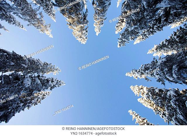Snowy spruce, picea abies, treetops at Winter  Location Suonenjoki Finland Scandinavia Europe EU