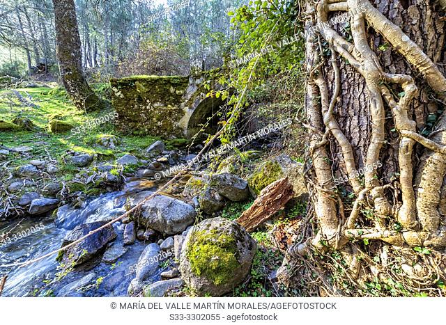 Roots and bridge over the stream at Iruelas Valley. Avila. Spain. Europe