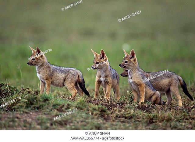 Black-backed jackal five week old pups (Canis mesomelas). Maasai Mara National Reserve, Kenya. Sep 2011