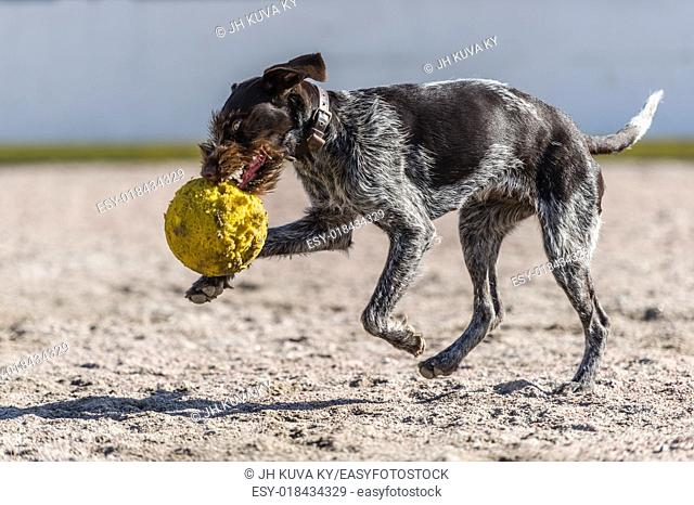 Puppy German wire-haired pointer playing outdoors with a ball