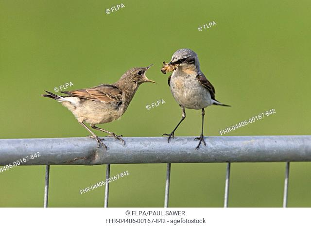 Northern Wheatear (Oenanthe oenanthe) adult male, breeding plumage, feeding moth to juvenile, perched on metal gate, Sumburgh Head RSPB Reserve, Mainland