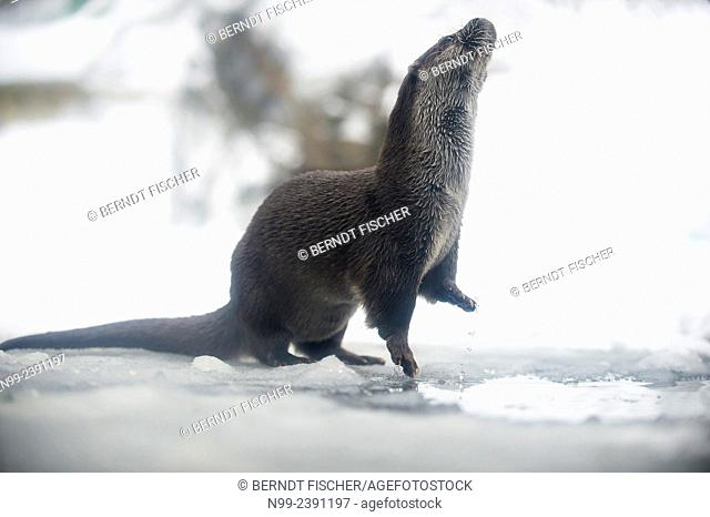 Otter (Lutra lutra), beside hole in the ice of frozen mountain creek, National Park Bayerischer Wald, Bavaria, Germany