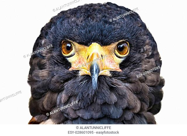 Close up head portrait of a Bateleur eagle with its face feathers displayed. Head profile against a white background