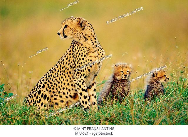 Cheetah and cubs, Acinonyx jubatus, Masai Mara Reserve, Kenya