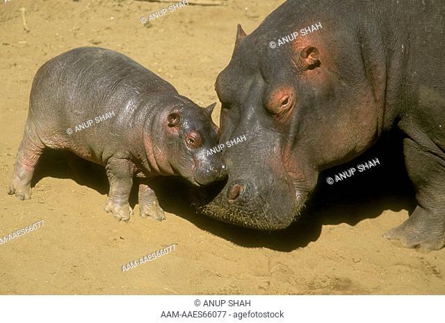 Hippopotamus with Baby (Hippopotamus amphibus) Maasai Mara NR, Kenya
