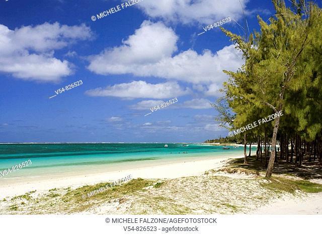 Casuarina Trees Casuarina Equisetifolia and Belle Mare Beach, Mauritius, Indian Ocean