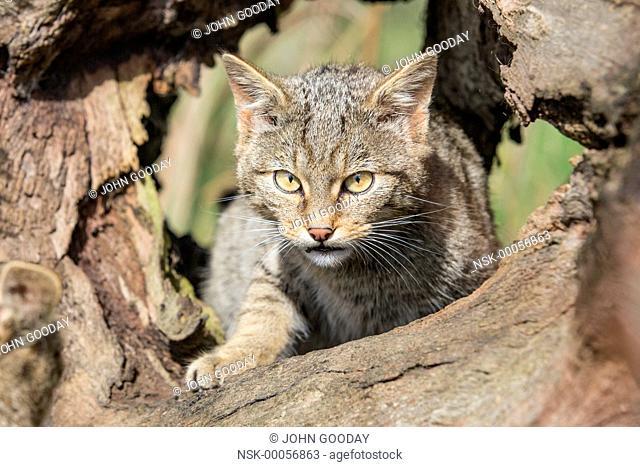 Wildcat kitten (Felis silvestris) exhibiting stalking behaviour, England, Devon