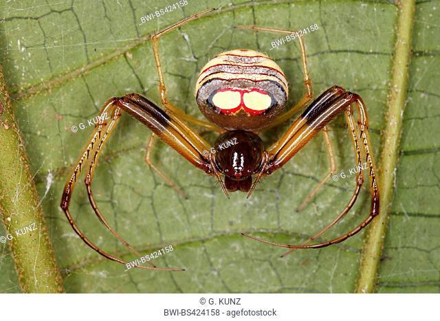 Pirate spider (Gelanor spec.), sits on a leaf, Costa Rica