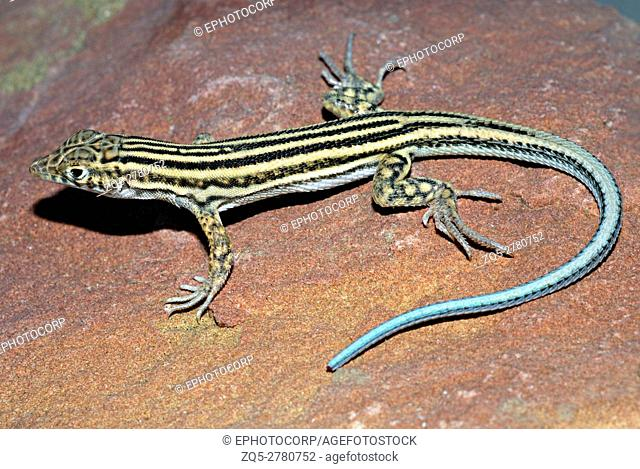 Spiny-Footed Lizard (Acanthodactylus erythrurus), A fussorial species of hacertids found under soft sand. Sam, Jaisalmer, Rajasthan, India