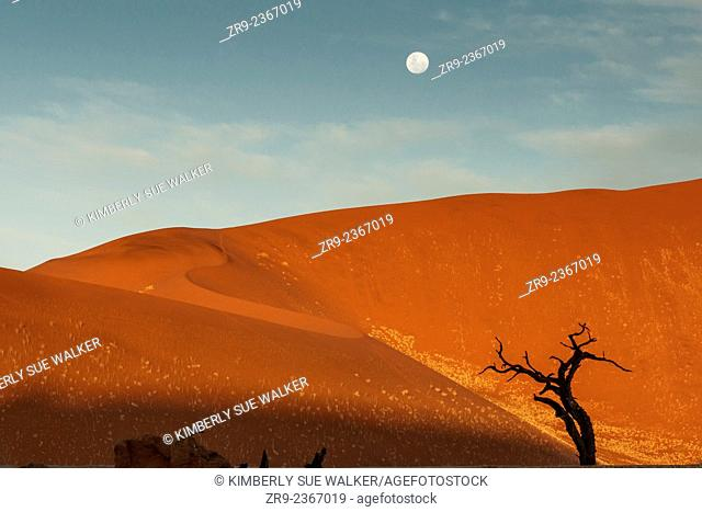 Orange sand dunes and ancient camelthorn tree in Deadvlei under a full moon, Sossusvlei, Namibia, Africa