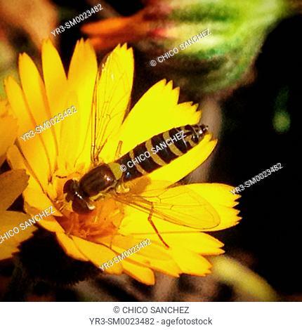 A wild wasp licks from a flower in Prado del Rey, Sierra de Cadiz, Andalusia, Spain