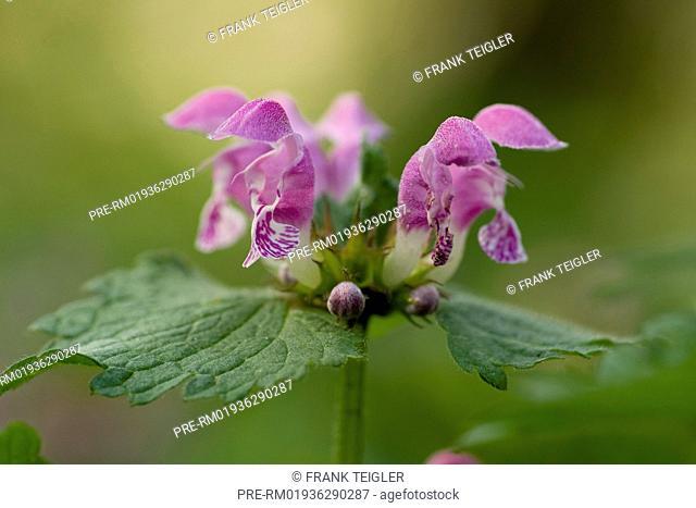 Spotted deadnettle, Lamium maculatum / Gefleckte Taubnessel, Lamium maculatum