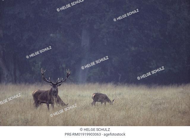 Red Deer, bull and doe's, Cervus elaphus