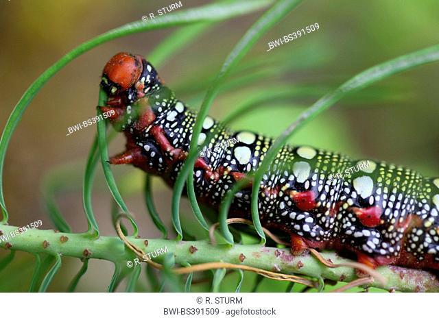 spurge hawkmoth (Hyles euphorbiae, Celerio euphorbiae), caterpillar feeds on cypress spurge, Germany, Bavaria