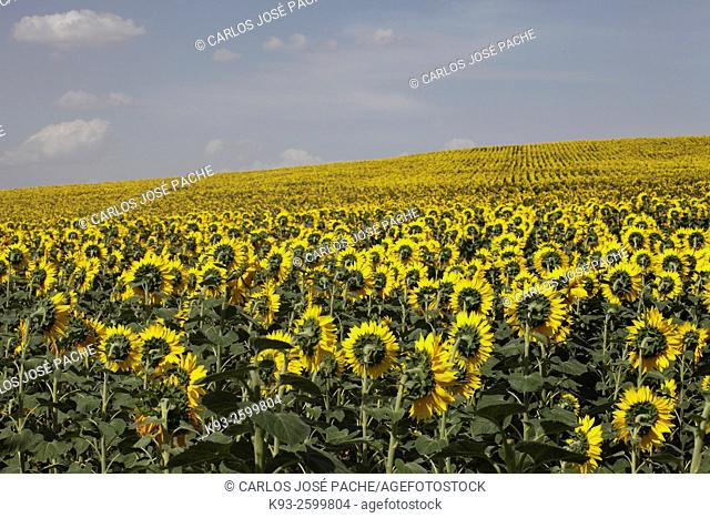 Sunflowers field, Andalucia, Spain