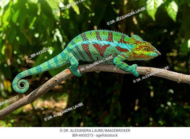 Panther chameleon (Furcifer Pardalis), male, near Ambanja, Northwestern Madagascar, Madagascar