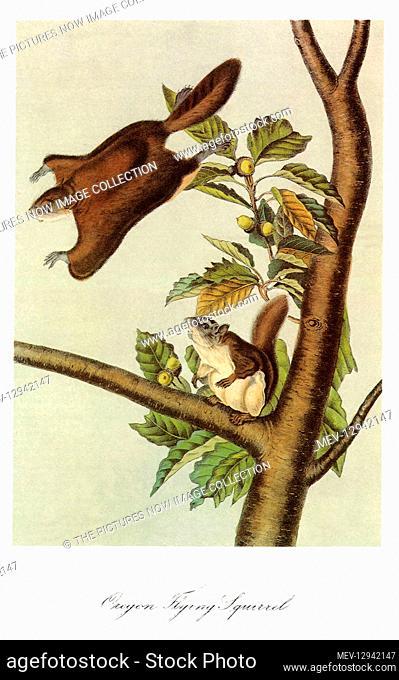 Oregon Flying Squirrels
