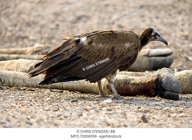 Hooded Vulture (Necrosyrtes monachus) scavenging from Giraffe (Giraffa sp) carcass, Chobe National Park, Botswana