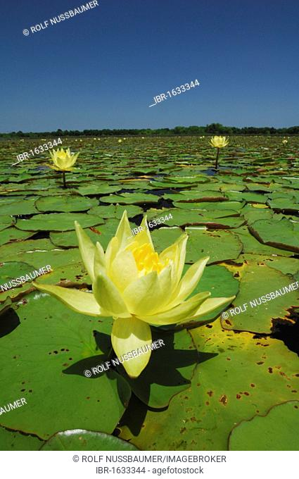 Yellow Waterlily (Nymphaea mexicana), blooming in lake, Fennessey Ranch, Refugio, Coastal Bend, Texas Coast, USA