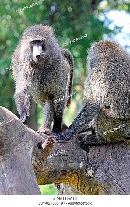 A couple of adult olive baboons, Papio Anubis on a dead tree