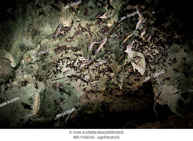 A cave with multiple bat species, mostly Egyptian fruit bats (Rousettus aegyptiacus) flying, Kenya, Africa