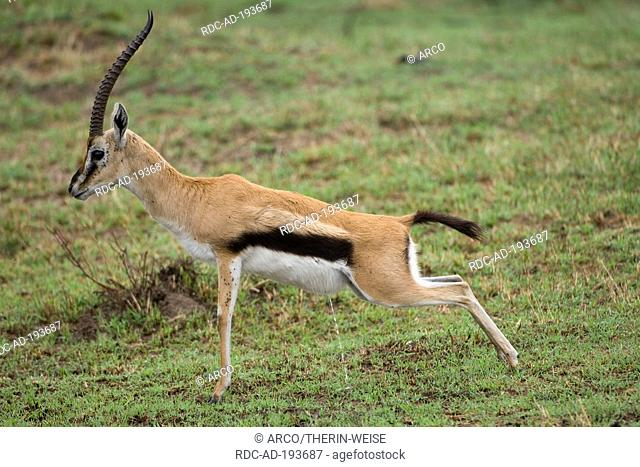 Thomson's Gazelle, male, urinating, Lake Nakuru national park, Kenya, Gazella thomsoni, side