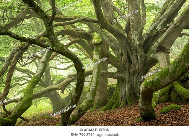 Ancient beech tree with enormous spreading branches, Dartmoor National Park, Devon, England, United Kingdom, Europe