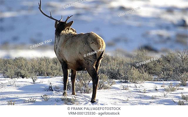 Elk (Cervus elaphus) on a snowy slope on the Columbia Blacktail Plateau. at Yellowstone National Park, Mammoth Hot Springs, Wyoming, USA