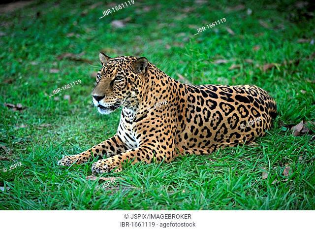 Jaguar (Panthera onca), adult male lying, Pantanal, Brazil, South America