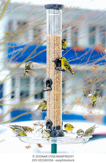 Swarm of eurasian siskin birds on a bird feeder with a house in the background