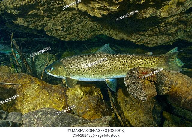 Freshwater Rivers. Atlantic Salmon (Salmo salar). Sella river. Asturias. Spain