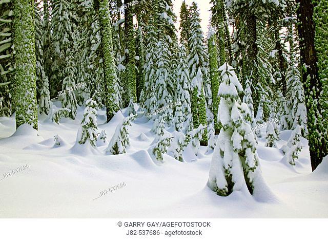 Trees in deep snow, Yosemite Valley, California, USA