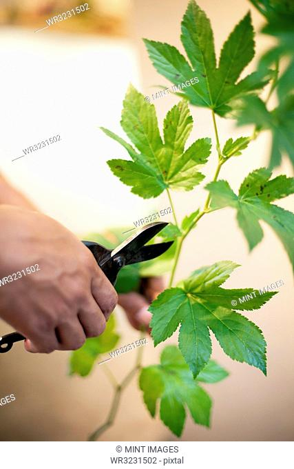 High angle close up of person in flower gallery, working on Ikebana arrangement, using secateurs to cut leaves of a twig
