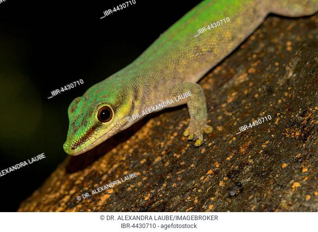 Abbott's day gecko (Phelsuma abbotti), Nosy Komba, Northwest Coast, Madagascar