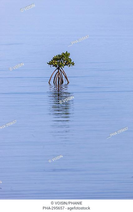 Plant of red mangrove, Cuba